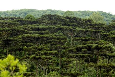 floresta_com_araucaria_denis_ferreira_netto_